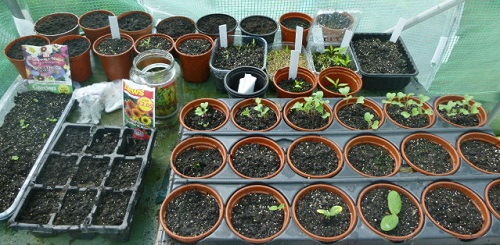 Seedlings in the polytunnel