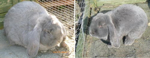 German Lop Eared Rabbits