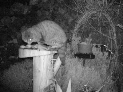 Cat stealing food from bird table