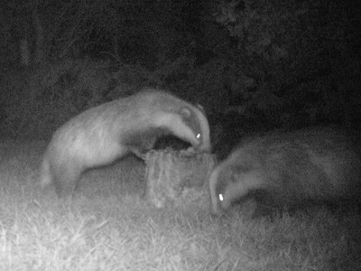 2 badgers