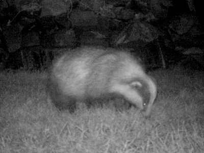 Badger visiting the new wildlife garden
