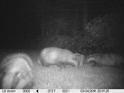 Now we have 3 badgers!