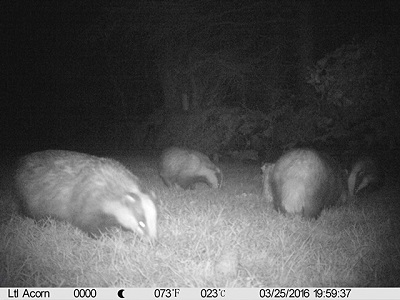 We now have 4 badgers in the garden