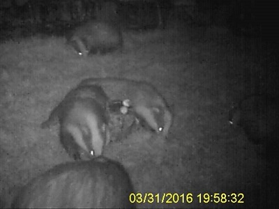 5 badgers in the garden