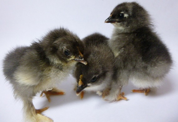 Day old Pekin chicks